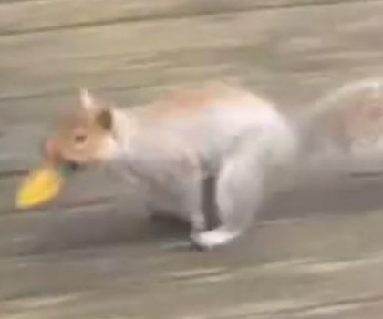 'Christmas bulb bandit' squirrel steals 150 colorful bulbs in 24 hours