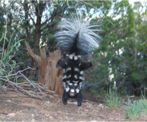 Study: Climate change affected spotted skunk evolution
