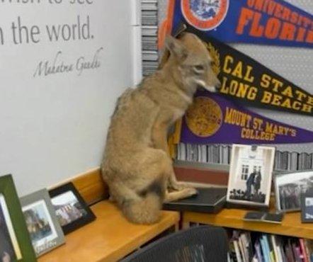 Coyote wanders into Los Angeles classroom