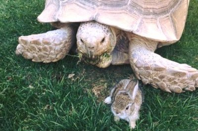 Fast friends: Tortoise becomes guardian of wandering baby bunny