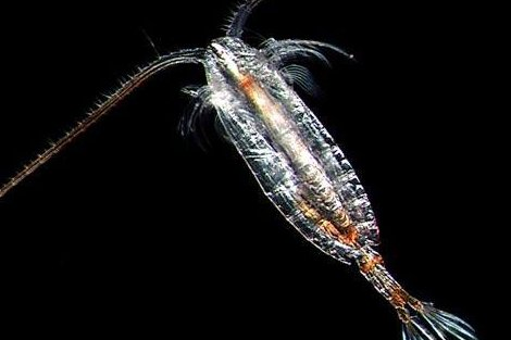 On thin ice: Disappearing zooplankton could collapse Arctic food chain