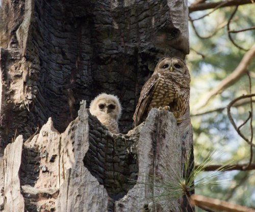Huge forest fires threaten existence of spotted owls, study says