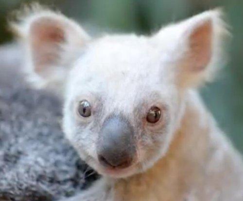 Rare white baby koala introduced at Australia Zoo