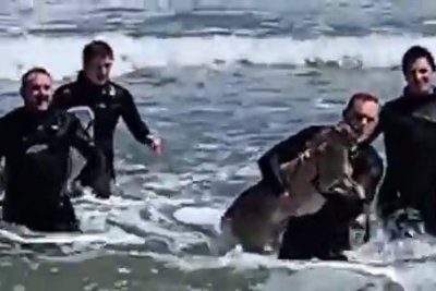 Surfers rescue struggling deer at New Jersey beach