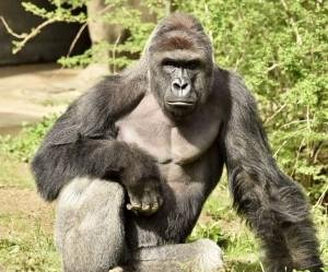 Cincinnati Zoo director defends shooting of gorilla