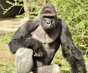 Cincinnati Zoo director defends shooting of gorilla
