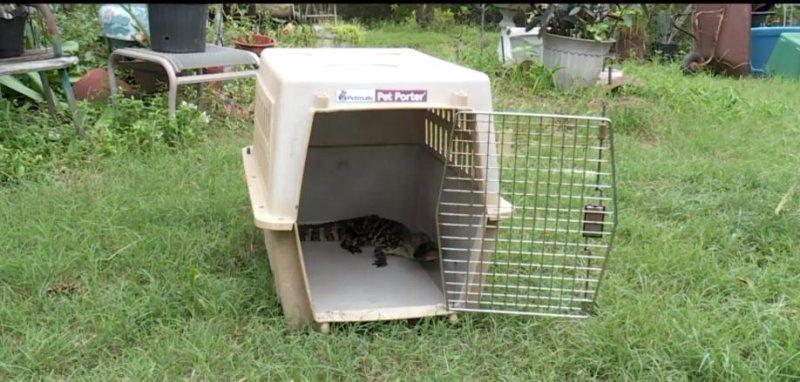 Watch: Alligator captured near Oklahoma couple's home - UPI com
