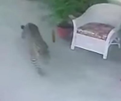 Leopard captured after wandering into house in India