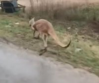 Escaped kangaroo on the loose in Alabama town
