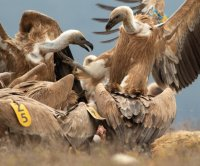 Griffon vultures return to Bulgaria's Eastern Balkan Mountains after 50 years