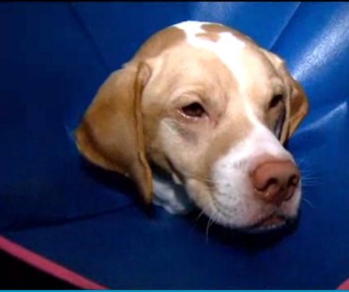 Boots surgically removed from dog's stomach