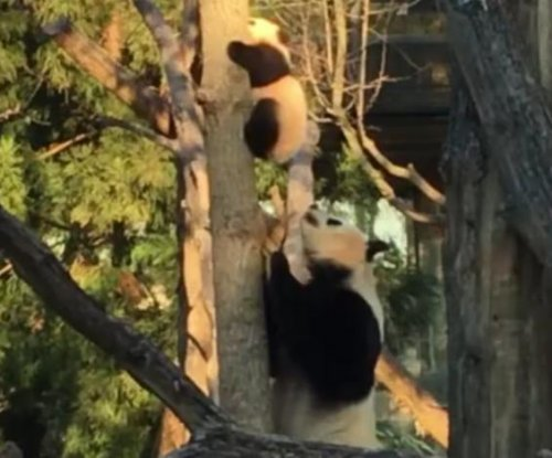 Baby panda climbs too high, needs help from mom to get down
