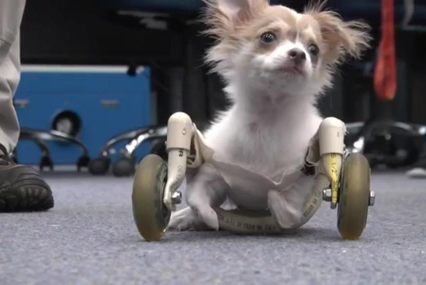 watch puppy learns to walk with wheelchair made by high school