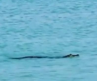 Alligator spotted taking rare swim in the ocean