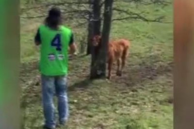 Father and son rescue calf with head stuck in tree