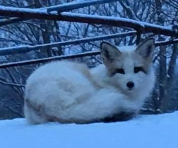 Rare white fox captured in Massachusetts may have fur trade ancestry