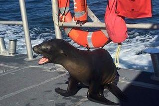 Sea lion tangled in fishing gear jumps onto Coast Guard boat in California