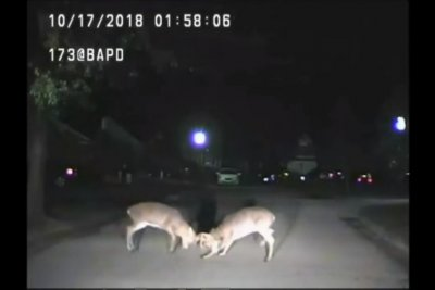 Police dash cam catches mid-road deer fight