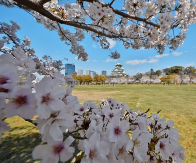 Cherry trees absorb carbon emissions, South Korea scientists say