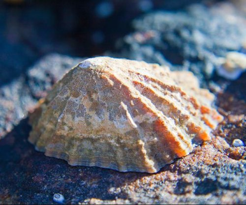 Sea snail teeth set record as world's strongest material