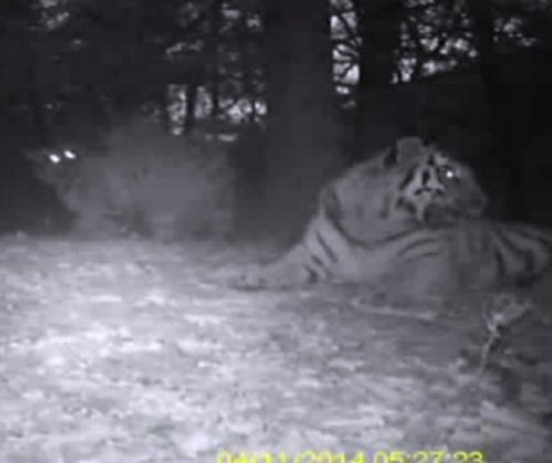 Experts: Video of Amur tigers in China 'encouraging'