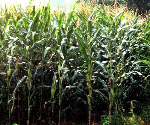 Study: Corn genome reveals 'amazing protein diversity'