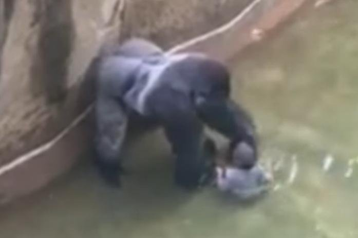 02d5b4ba836c USDA: Barriers at Cincy zoo outdated when Harambe shot - UPI.com