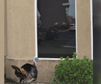 Turkey crashes through window into California dentist's office