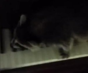 Baby raccoon filmed 'practicing scales' on the piano