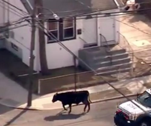 Loose bull captured by police after romp through Queens
