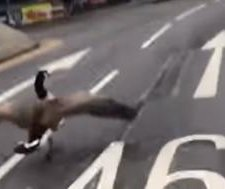 British reality star runs into traffic to rescue goose