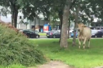 Cow escapes slaughterhouse, runs loose through British city