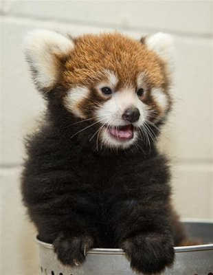 Nashville Zoo greets newborn red panda cub