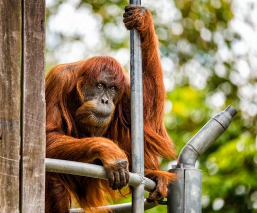 60-year-old orangutan at Australian zoo declared world's oldest