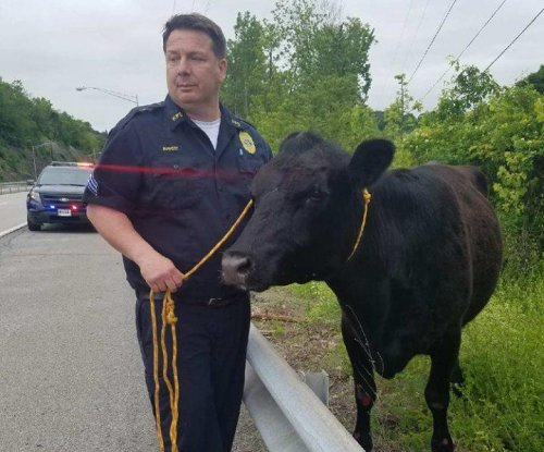 New York police rope escaped cow running across local bridge
