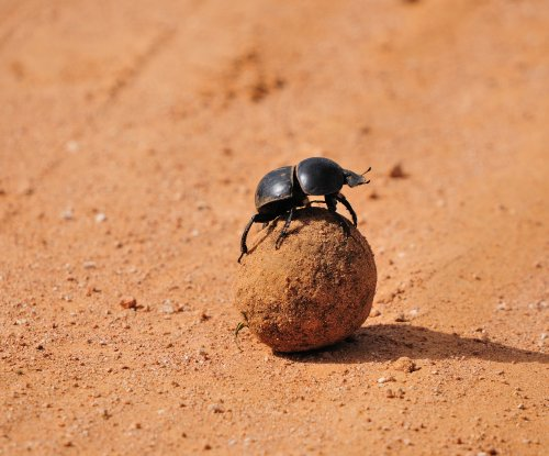 Different dung beetle species use different celestial cues for navigation