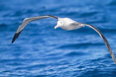 Study: Albatross changing breeding habits