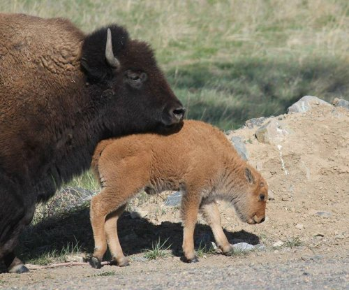 House approves bill making bison a national symbol
