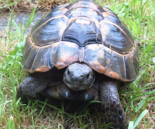 Escaped tortoise traveled a five-minute walk in three days