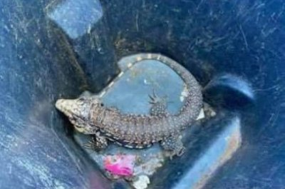 Reported alligator in Oklahoma neighborhood was exotic lizard