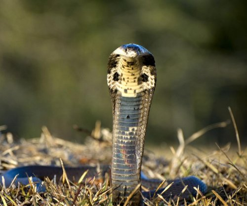 50 baby cobras on the loose in China