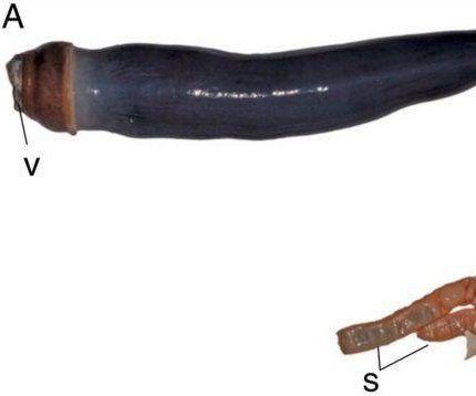 Scientists find rare giant shipworms in the Philippines