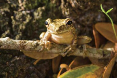 Tadpole's gut microbiome can predict a frog's health