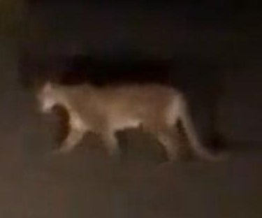 Driver swerves when mountain lion jumps into road