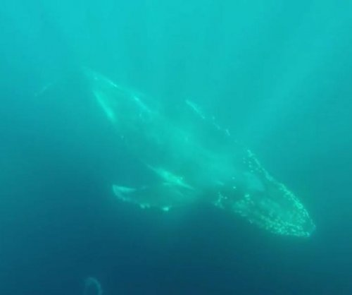 Humpbacks get up close with Australian whale watchers