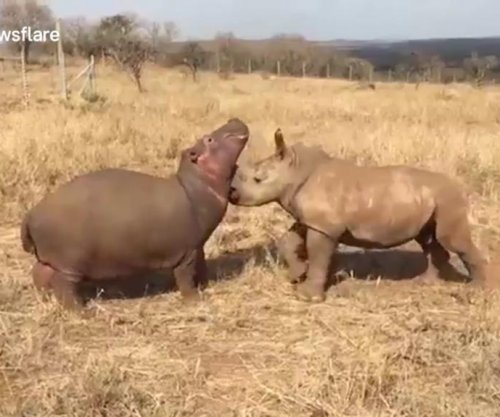 Baby rhino and baby hippo form friendship at wildlife sanctuary