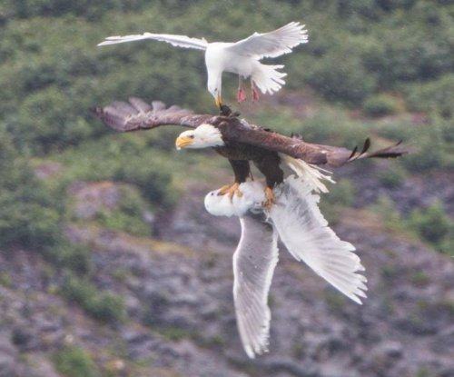 Sea gull challenges bald eagle for the life of second gull