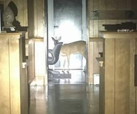 Deer 'trying to free his friend' breaks into taxidermy shop