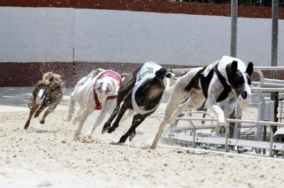 Rescue groups prep for greyhound influx after Florida bans racing