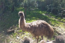 Emu on the loose after escape from Washington state farm